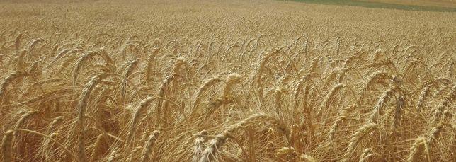 Zboże *pszenica pszenżyto owies*