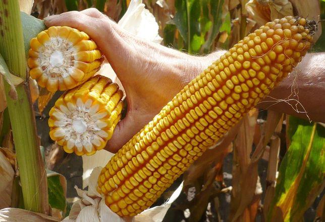Nasiona Kukurydzy kukurydza CEGRAND FAO 260
