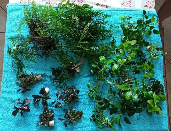 Rośliny anubiasy bucki i bolbitisy