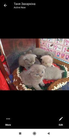 Продам кошенят. Коти 800 ,кішки 600