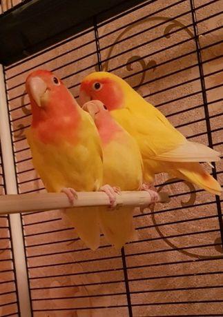 продам жовтого нерозлучника рожевощокого