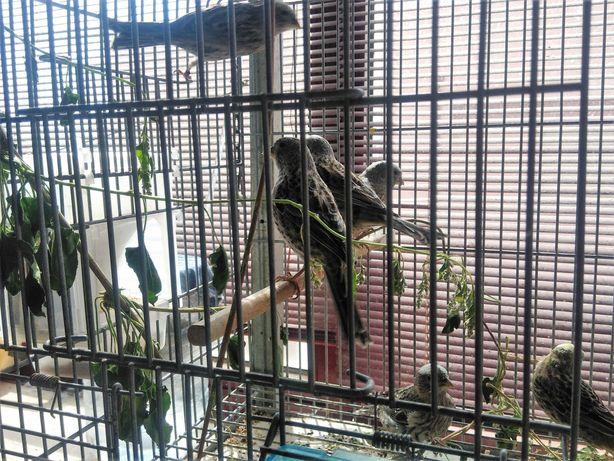 Canário Lizard reprodutores