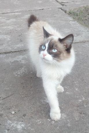 zaginął kot jasnej puszystej sierści, oczy niebieskie