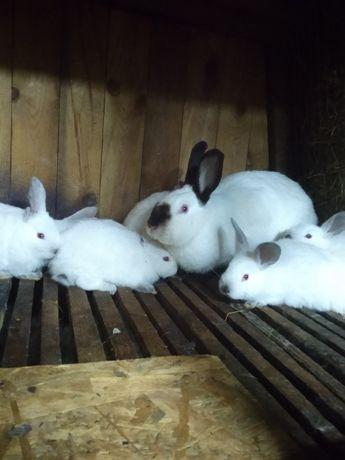кролики , мясо кролика, покрытые самки калифорния