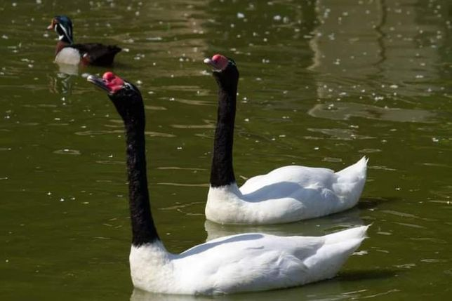 Kaczki  gęsi   ŁABĘDZIE  CZARNOSZYJE   para  lęgowa