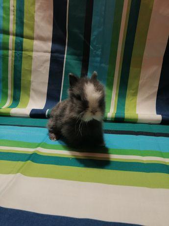 Królik Teddy karzełek miniaturka Długowłosy.