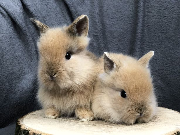 Królik miniaturka, króliki miniaturki, króliczek + wyprawka gratis
