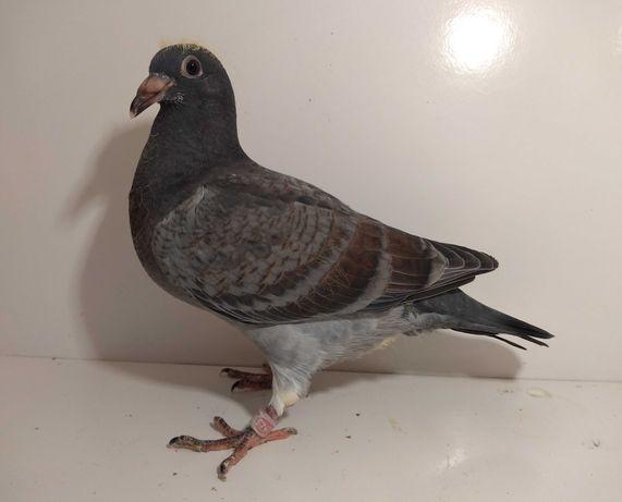 Gołębie pocztowe K. Meulemans, młody nr 14134.
