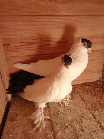 Gołębie ozdobne - krumki