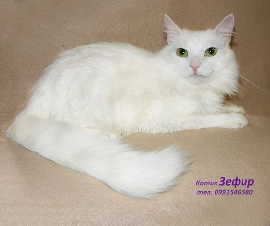 Белый пушистый котик Зефирчик, турецкая ангора (кастрирован)