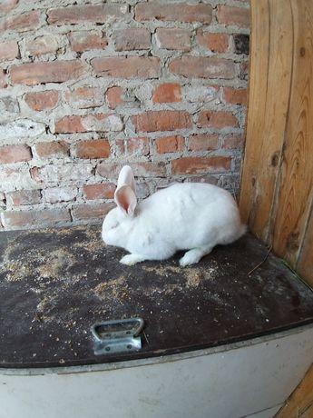 Sprzedam królika.