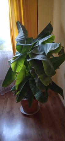 Kwiat Bananowiec
