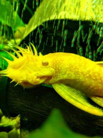 Анциструсы (Ancistrus sp.) – популярные аквариумные рыбки из семейства