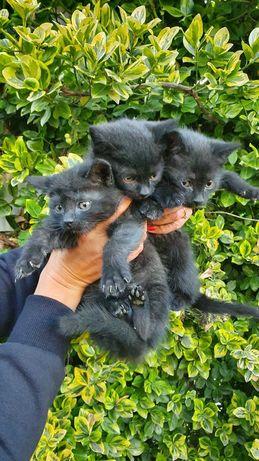 Oddam za darmo trzy kotki