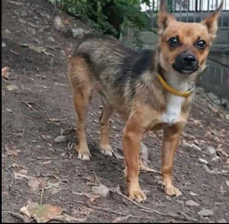 Пропала вчера собака, Соломенский район по ул. Урицкого