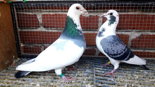 Gołębie pocztowe. Para nr 1 lot