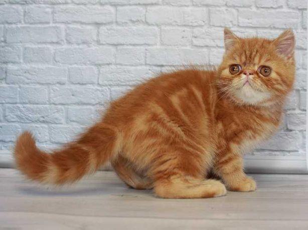 Экзотический короткошерстный котёнок мальчик. Флегматичный царственный