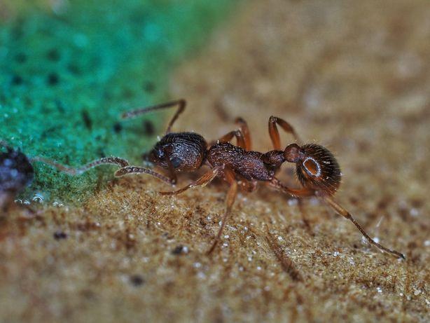 Mrówki Myrmica sp q+150-200w