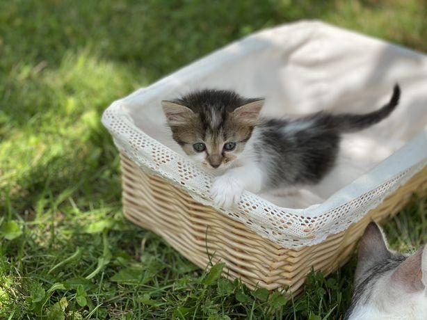 Котенята безкоштовно, ласкаві і ніжні