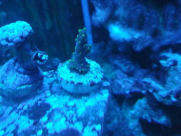 Acropora tricolor Valida koralowiec