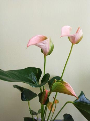 Anturium Flamingo Pink sadzonka własna