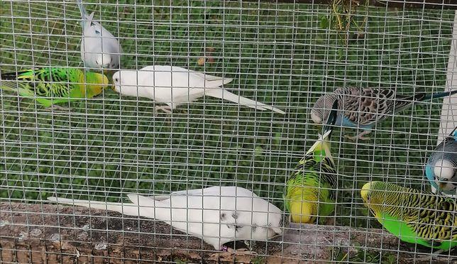 Papugi faliste, zeberki