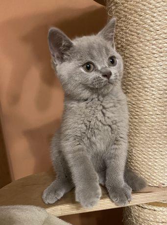 Koty Brytyjskie Liliowy Kocur