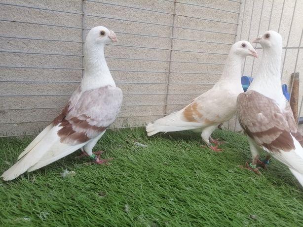 Gołębie. Śląskie tarczowe. Pocztowe płowe