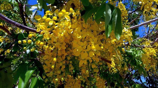 Кассия трубчатая -семена ( Cassia fistula)