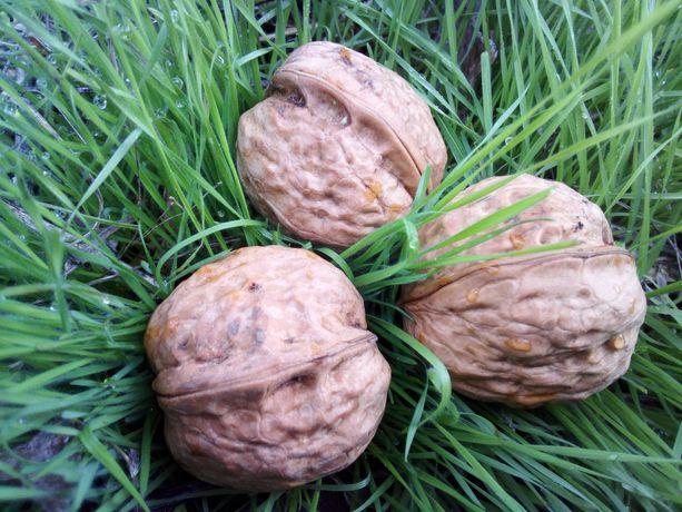 Саджанці скороплідного грецького горіха
