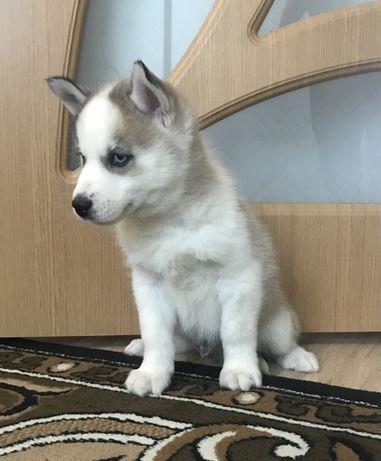 Безупречный щенок с документами