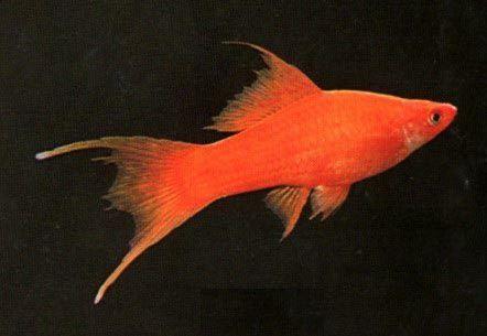 Mieczyk weloniasty/ mieczyki lirowe/rybki akwariowe