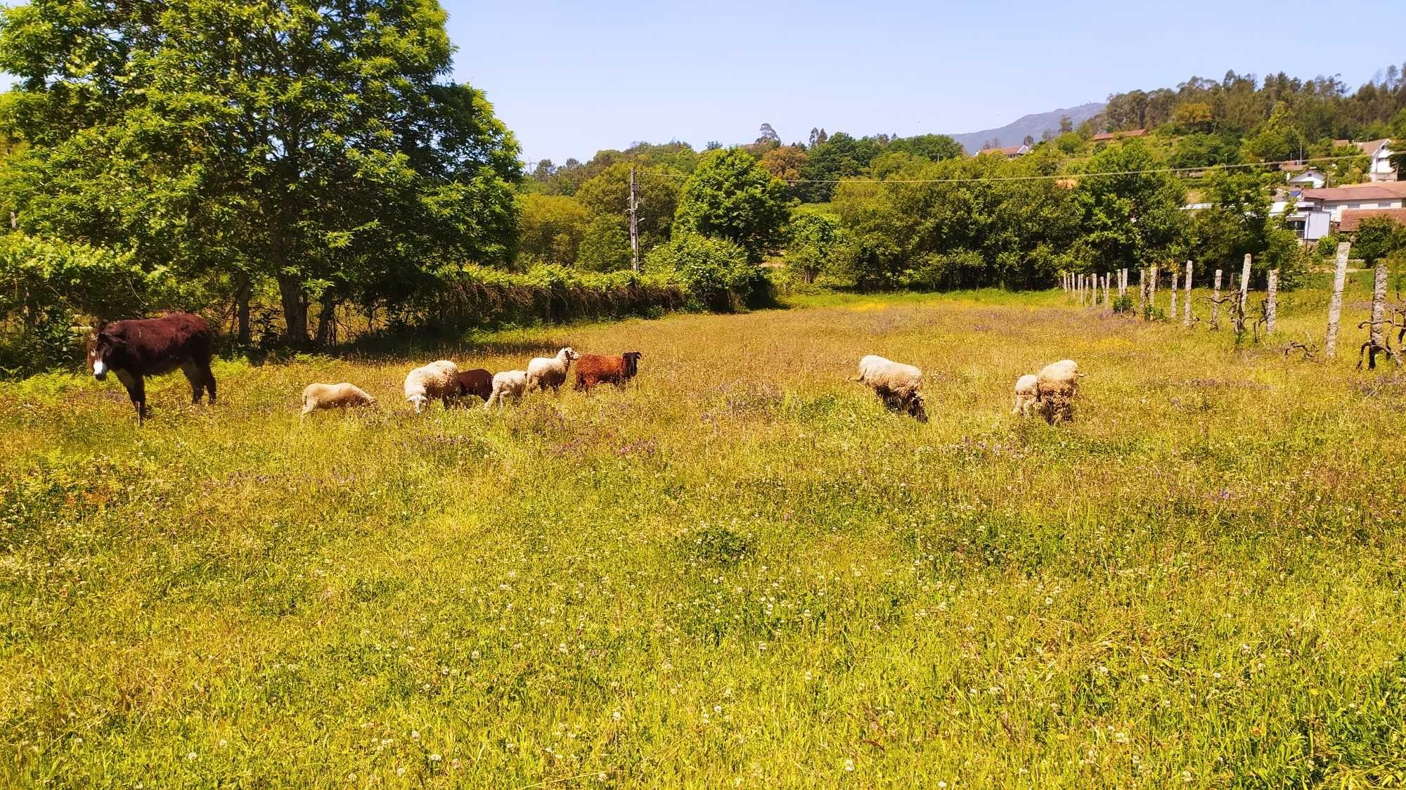 Ovelhas e Cabras