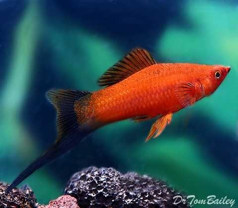 peixes espada (xiphophorus helleri)