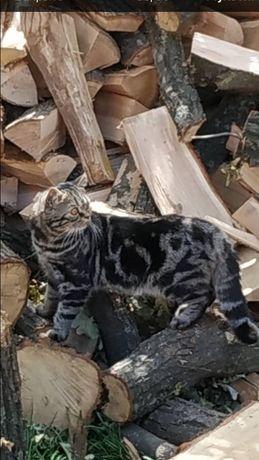 Вязка, мраморный шотландский кот.