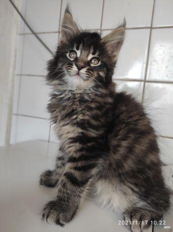 Идеальный котик Мейн кун от элитных производителей