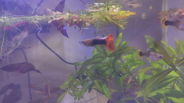 Guppys juvenis machos e fêmeas (peixes aquário)