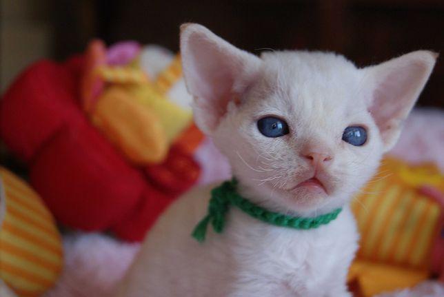 Ragnar Calvados*PL  niebieskooki chłopczyk Devon Rex