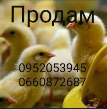 Цыплята, бройлеры, утки, гусята