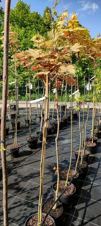 Klon jawor Acer pseudoplatanus Esk Sunset szczepiony na pniu