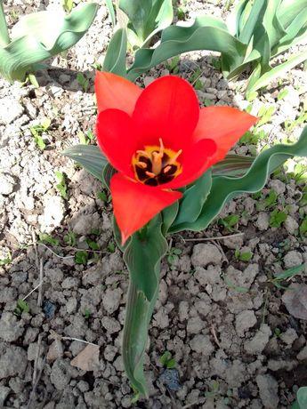 Тюльпан Грейга луковица