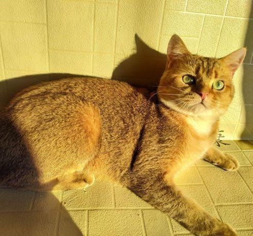 Шикарный котик ждёт вашу даму на вязку