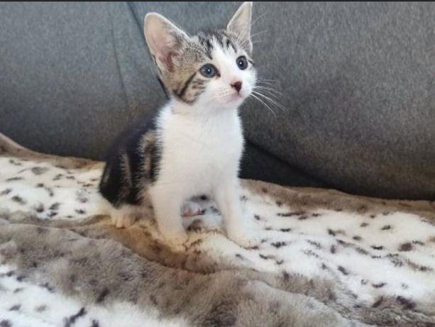 Znaleziono biało burego kociego maluszka