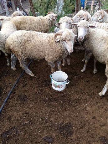 Продаю баранов 40 грн. за кг.жывого веса.