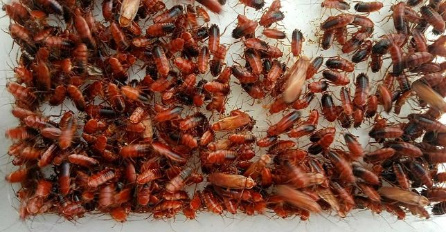 Тараканы Туркменские, мраморные, сверчки банановые, зофобас - по 50коп