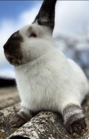 Племенные калифорнийские кролики(разных возрастов)отправка по Украине