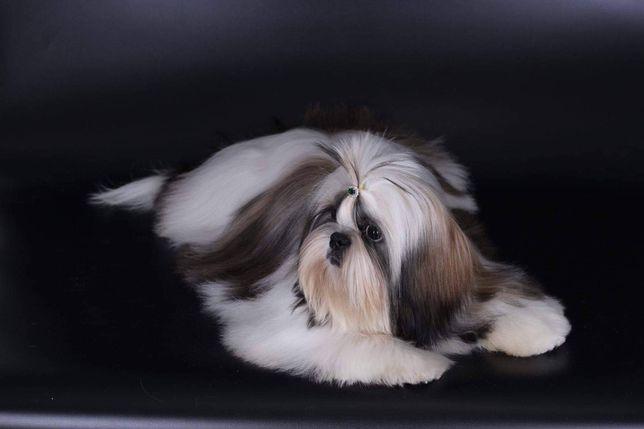 Шикарны 10-ти месячный кобель ши-тцу(КСУ)