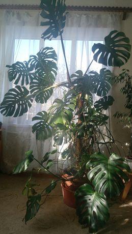 Манстера, комнатная пальма