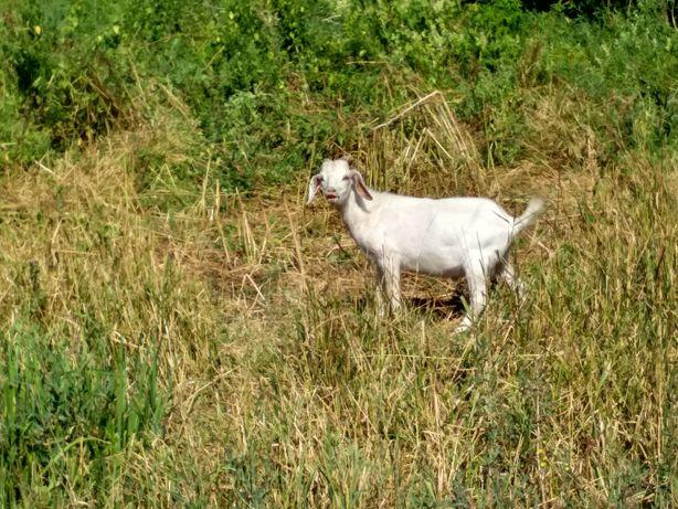 Продам козлят 4 - 6 мес