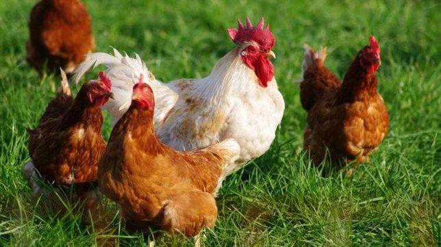 Kurczaki Nieśne Kury Nioski Kunów